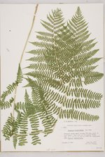 Sample image of a specimen: Athyrium felix-femina